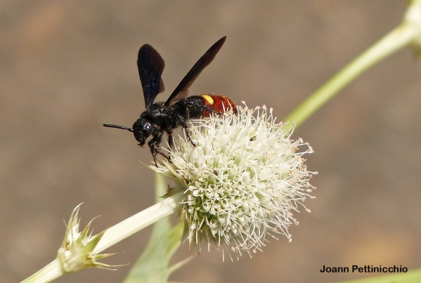 When not hunting white grubs, Scolia dubia is often found nectaring on flowers during August. Photo credit: Joann Pettinicchio