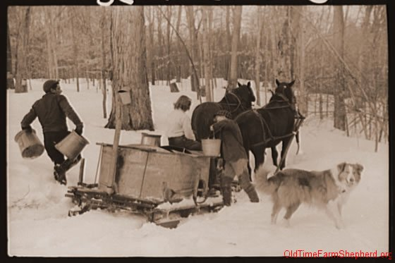 Collie helping with the sugaring - 1940