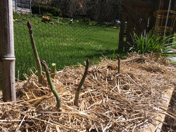 Asparagus grows at Owl Moon Farm!